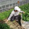 ホウレンソウ収穫